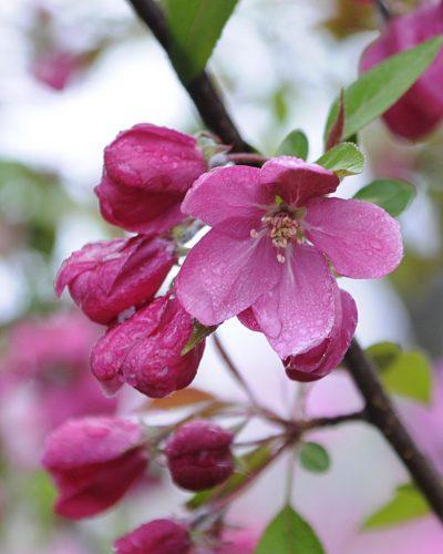 nursery: flowering trees