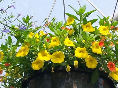 flowering hanging basket