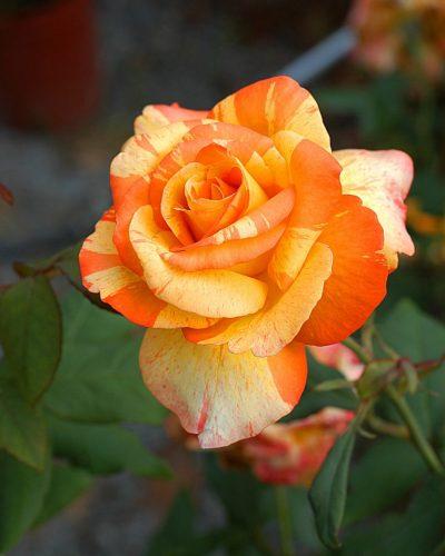 nursery: rose