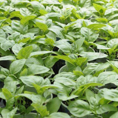 herbs: basil