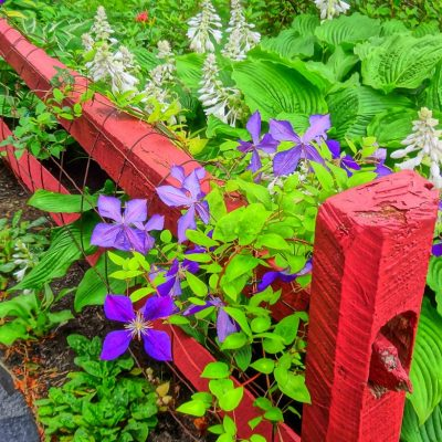 perennials and fence