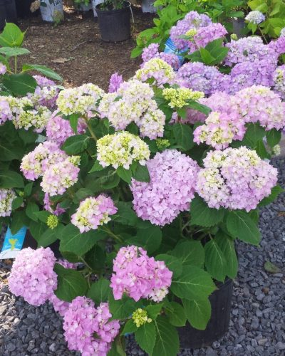 nursery: hydrangea