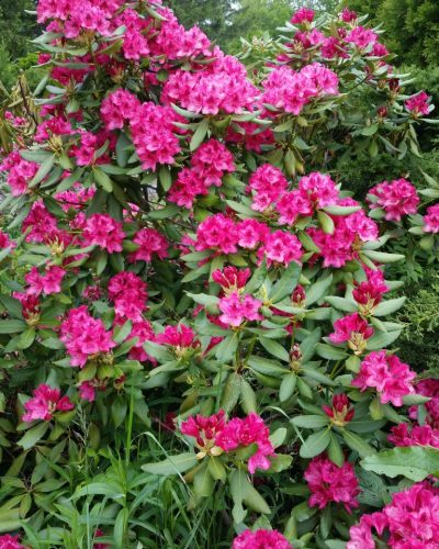 nursery: rhododendron