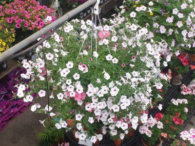 flowering hanging baskets