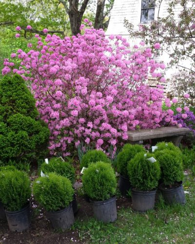 nursery: shrubs
