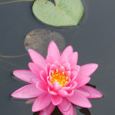 perennial: water lily