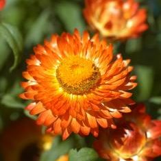 annuals: strawflower