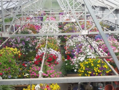 hanging baskets in the greenhouse, from above