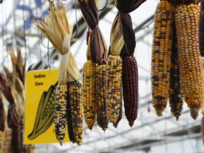 fall Indian corn