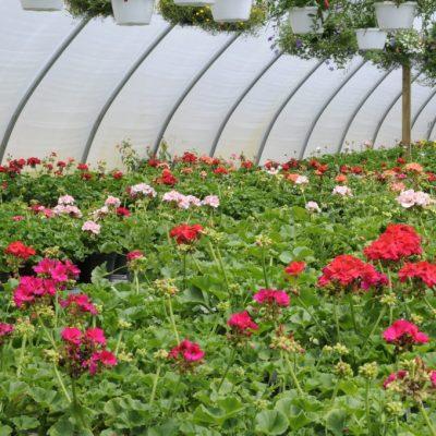 annuals: geraniums