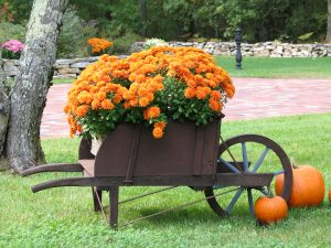 fall mums in wheelbarrow